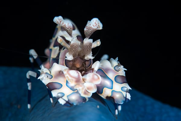 Harlequin shrimp on a Blue Starfish available as a fine art photograph for sale