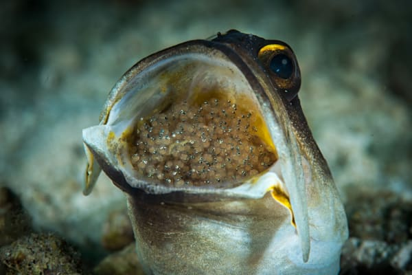 A male jawfish with eggs in its mouth broods them until they hatch.