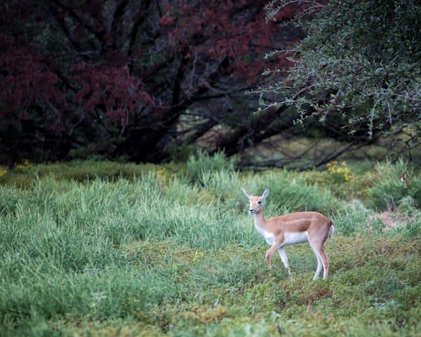 Axis Deer_0080