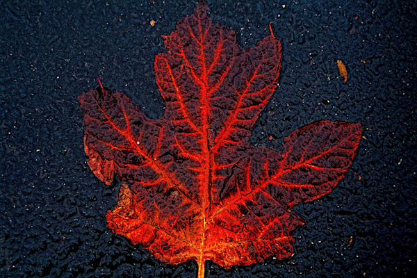Decaying Leaf On Pavement|Fine Art Photography by Todd Breitling|Trees and Leaves|Todd Breitling Art