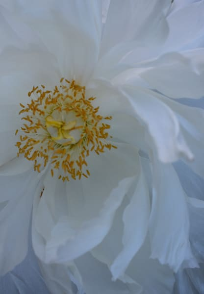 Whitepeony3 Photography Art | LIGHT POETRY PHOTOS