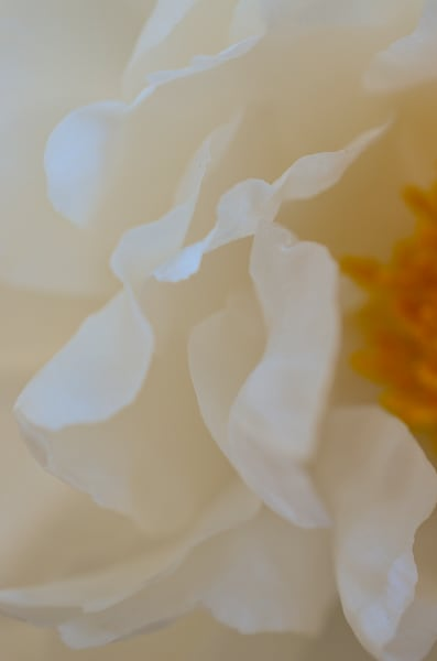 Whitepeony2 Photography Art | LIGHT POETRY PHOTOS