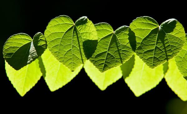 Katsura Leaves Springtime Pacific Northwest