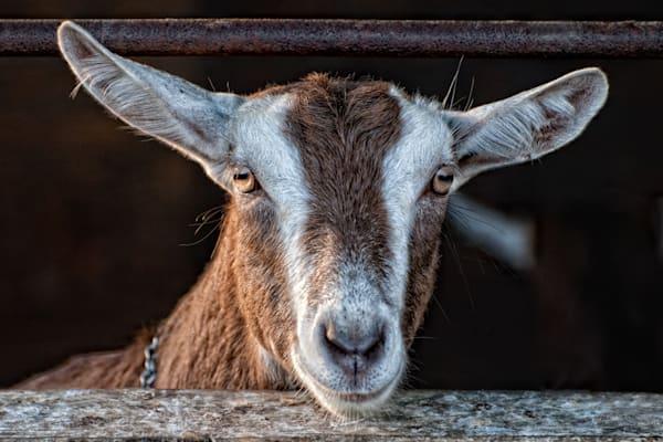 "Coach Farm Goat ""Benny"""