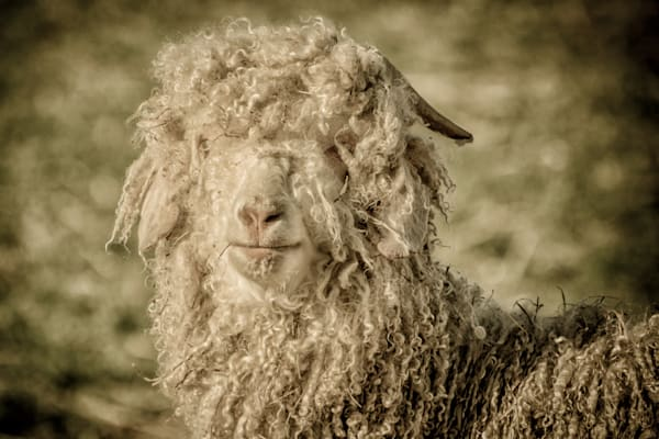 Angora Goat at Buckwheat Bridges Farm