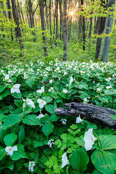 Trillium carpet at Pete's Woods
