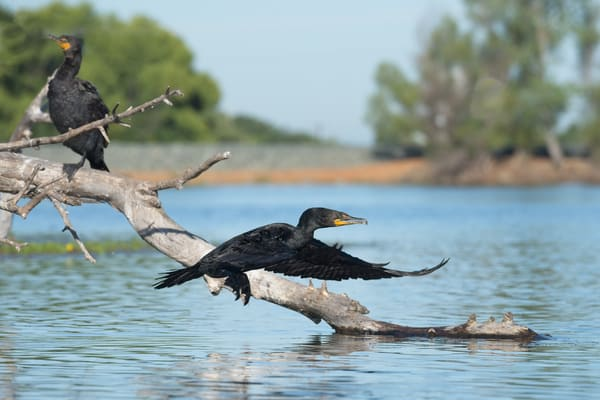 Cormorant in Flight 01