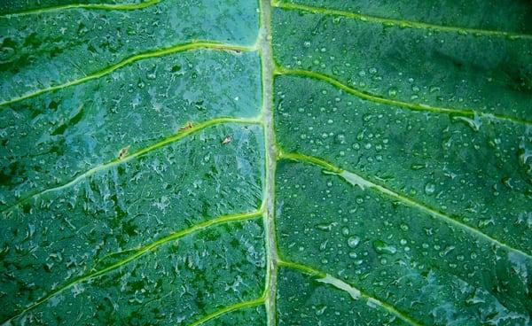Banana Leaf | Hawaii