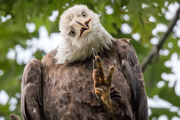 Bald Eagle waving at the camera by fine art photographer Steven Archdeacon.