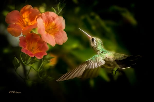 Hummingbird With Trumpet Flower Photography Art | HoofPrintsFineArt