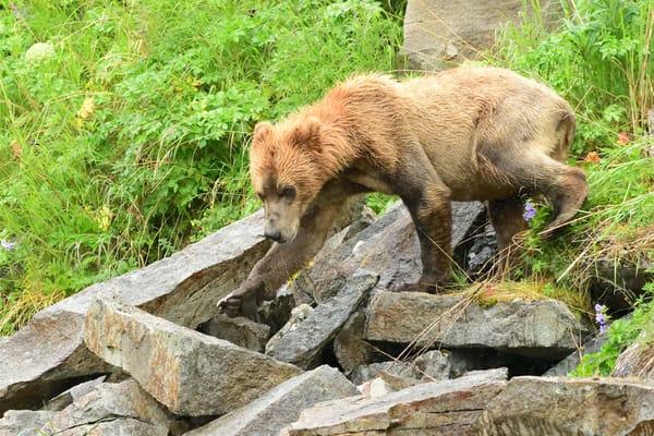 Descent - Katmai Alaskan Photographs - Alaska Brown Bears - Fine Art Prints on Metal, Canvas, Paper & More By Kevin Odette Photography