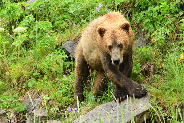Cross Stepping Young Bear - Katmai Alaskan Photographs - Alaska Brown Bears - Fine Art Prints on Metal, Canvas, Paper & More By Kevin Odette Photography