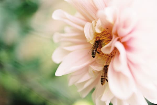 Pollination Dahlia with Bees Fine Art Film Photographic Print