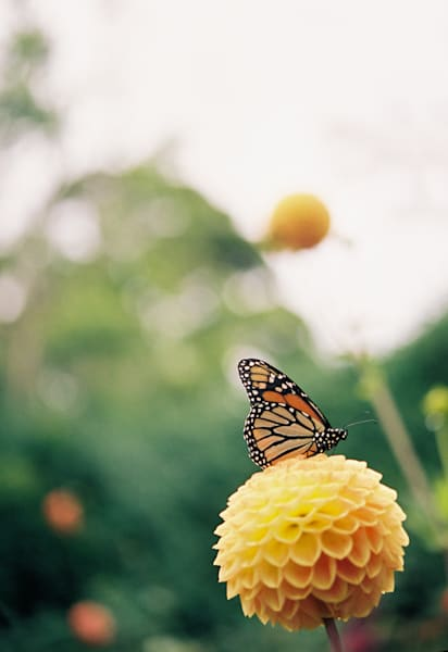 Rest Monarch Butterfly Dahlia Fine Art Film Photographic Print