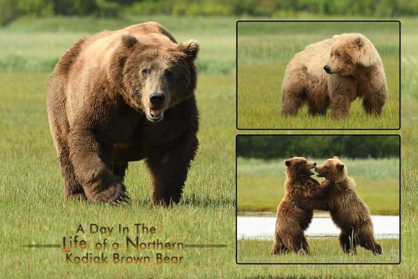 Big Brute Male Bear - Katmai Alaskan Photographs - Alaska Brown Bears - Fine Art Prints on Metal, Canvas, Paper & More By Kevin Odette Photography