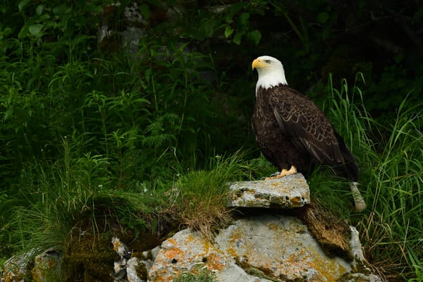 Eagles Landing - Katmai Alaskan Photographs - Birds of Prey Perched in Wait - Fine Art Prints on Metal, Canvas, Paper & More By Kevin Odette Photography