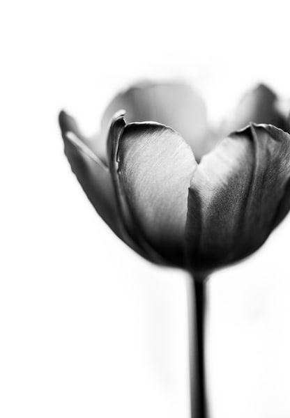 Spring Black and White Fine Art Tulip Print