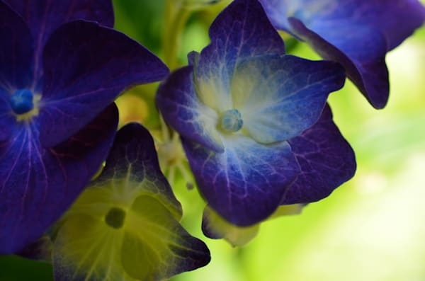 Bluepurplehydrangea Photography Art | LIGHT POETRY PHOTOS