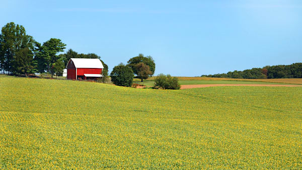 Fields of Sunflowers in Jarrettsville Pennsylvania