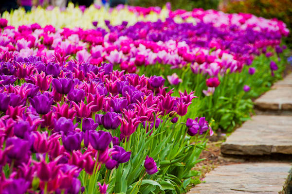 Beautiful Tulips Spring Floral