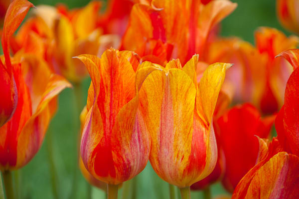 Orange tulip flower at Longwood Gardens