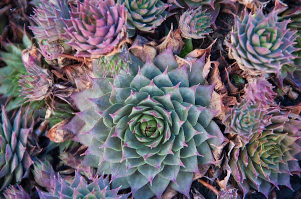 Pastel Cactus Blooms