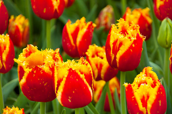 Stunning Red and Yellow Tulips