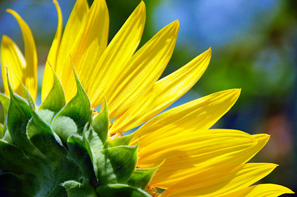 Yellow Sunflower Petals profile Image