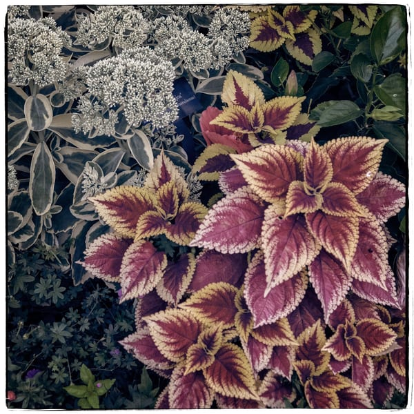 Coleus   Chicago Botanic Garden Photography Art | David Frank Photography
