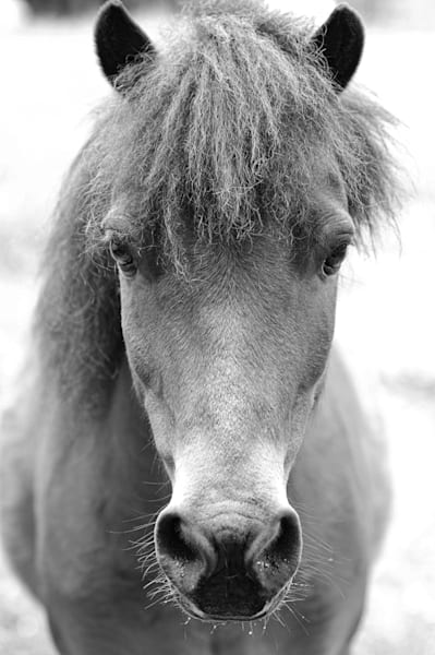 Brown Horse Head in Black and White