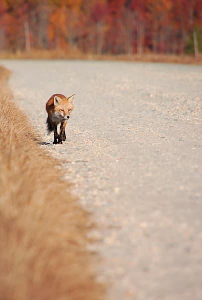Fox Autumn Bombay Hook