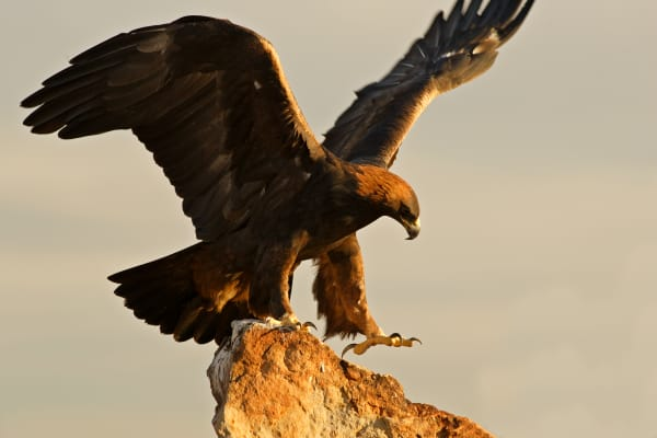 Golden Eagle | Robbie George Photography