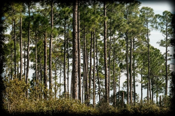 Pines in the Scrub