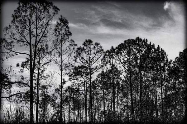 A Silhouette Of Trees Photography Art | David Frank Photography