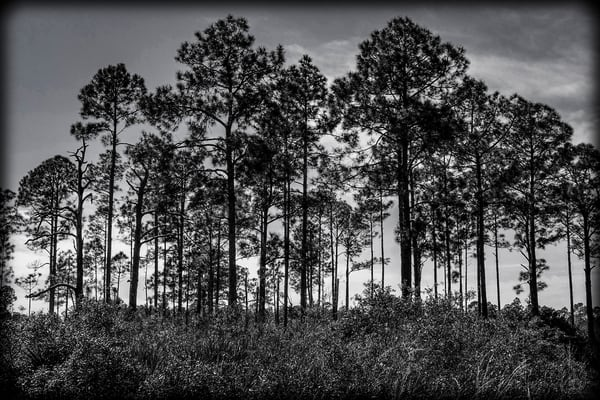 Silhouette Of Trees #2 Photography Art | David Frank Photography