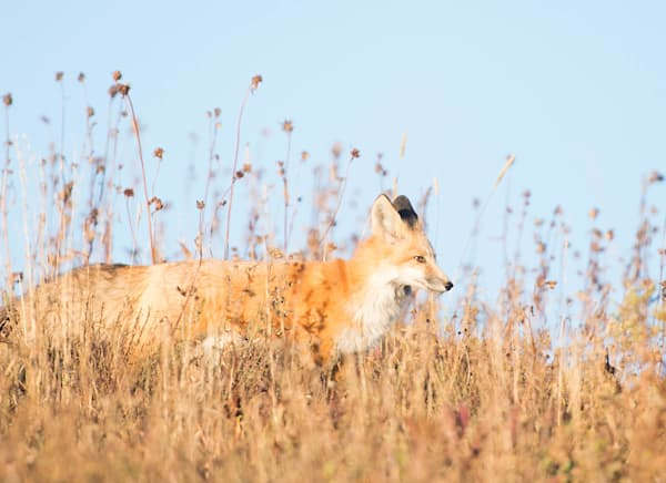 Beautiful Red Fox on the Hunt