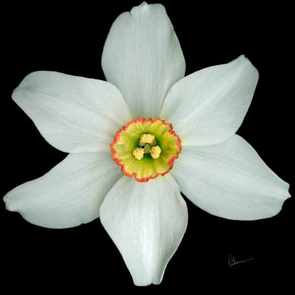 White Poeticus Daffodil on a square black background by the artist, Mary Ahern.