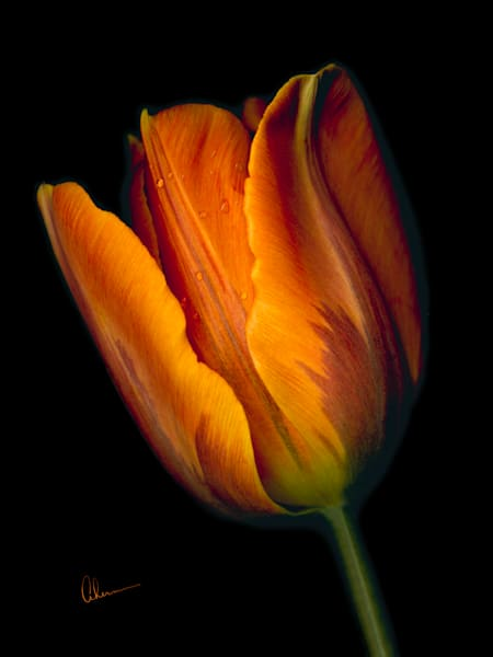 Conversation-Orange Tulip 2. Contemporary ultra high resolution wall art. A print of an original artwork by Mary Ahern Artist.
