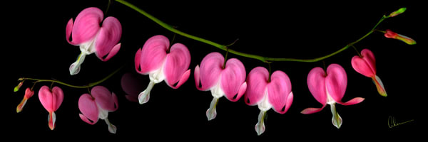 Bleeding Heart art print on a contemporary black background by the Artist, Mary Ahern