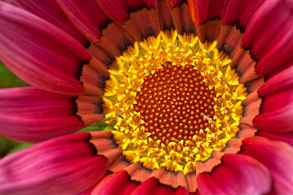 Red Gazania Yellow Center