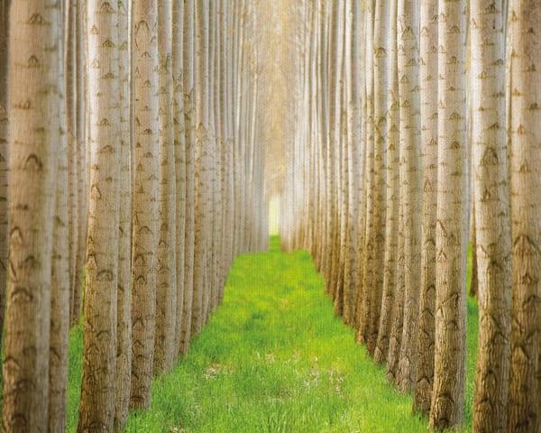 Poplar Grove 1 - Acer Images