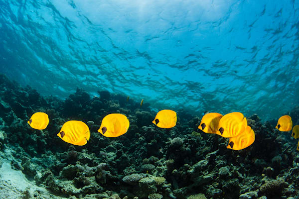 Schooling masked butterfly fish following each other over a coral reef is available as a fine art photograph for sale.