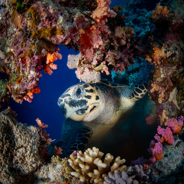 A turtle framed in soft corals is available as a fine art photograph for sale.