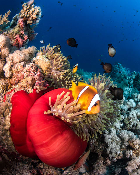 Clown Fish sit outside a closed red anemone available as a fine art photograph for sale