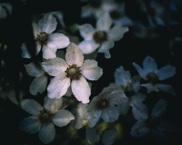 Moody Anemone Photography Art | Sage & Balm Photography