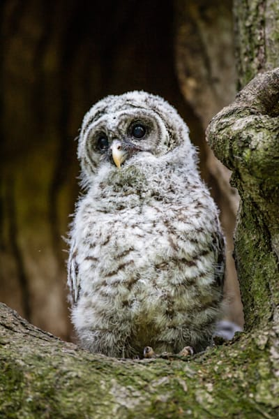 Baby Barred Owl Nest Photography Art | Third Shutter from the Sun Photography