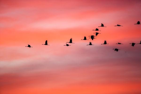 Sunrise Flight Sand Hill Cranes Art | Third Shutter from the Sun Photography