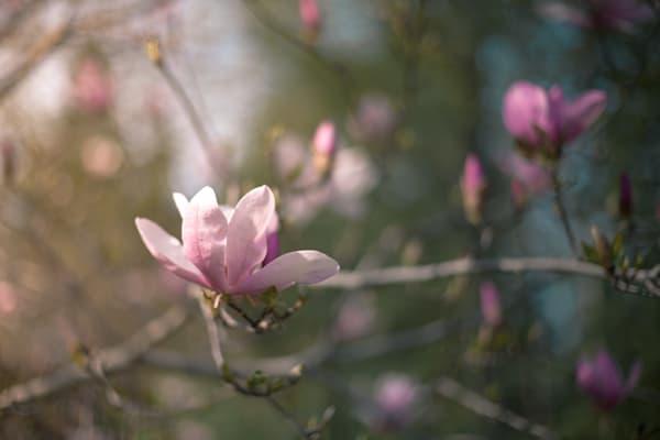 Pretty Magnolias Photography Art | Sage & Balm Photography