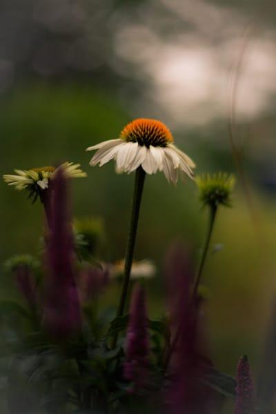 White Coneflower Photography Art | Sage & Balm Photography