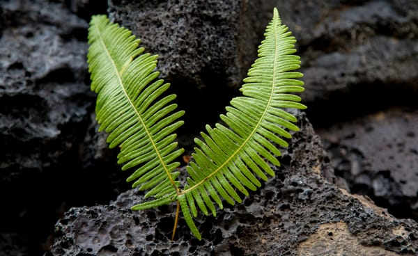 Fern | Kilauea Volcano | Hawaii